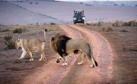 Lions crossing road