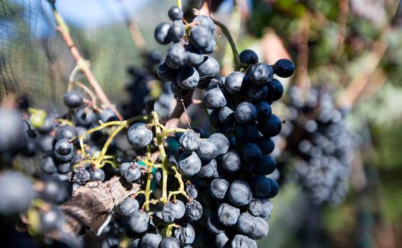 grappe vine