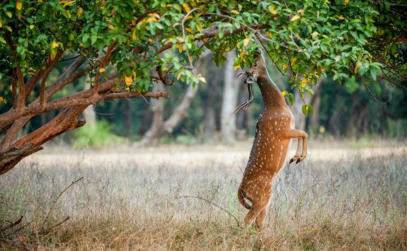 Cheetal deer eating