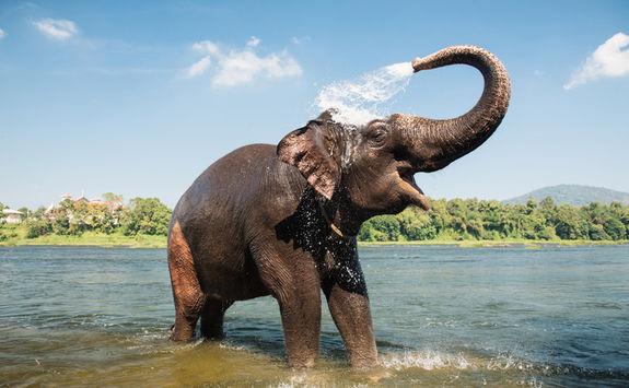 Elephant washing itself