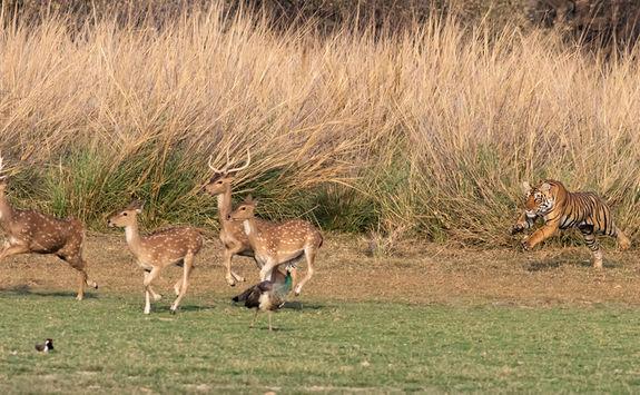 Tiger charging at deer
