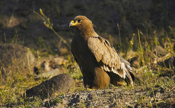 Steppe eagle, India