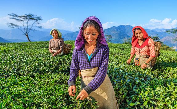 Indian tea pickers, Darjeeling