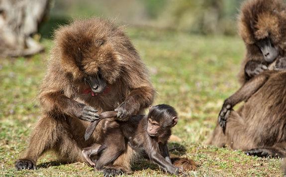 geladas baboons