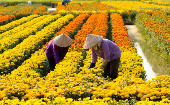 Vietnamese women harvesting flowers in Sa Dec