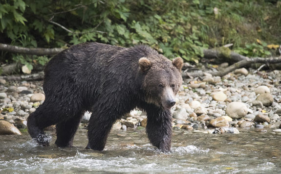 Bear crossing a river