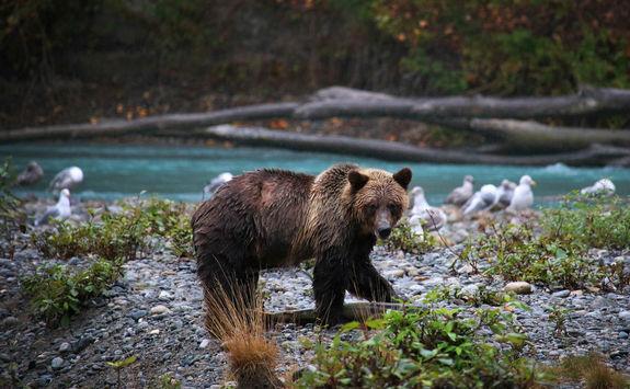Bear catching a salmon