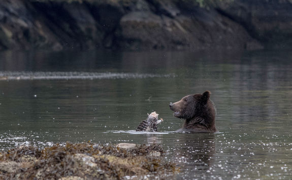Bear eating salmon in the river