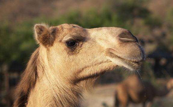Omani camel