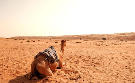 Camel in the Wahiba Sands