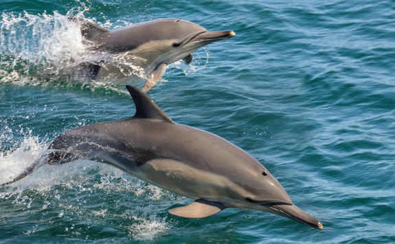 Dolphins in Oman