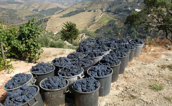 Grapes of Douro valley