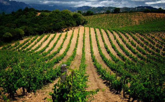 Vineyards Corsica