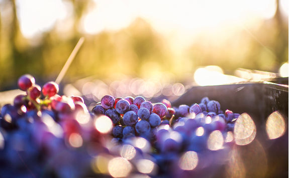 Grapes in the sun