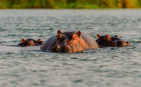 Hippos swimming