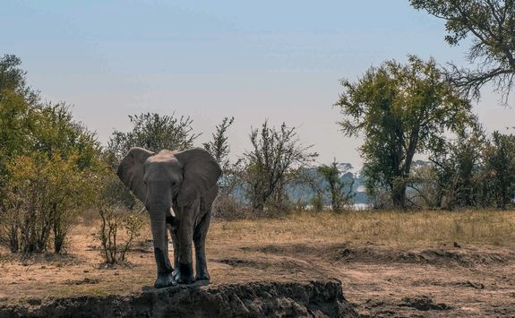 Elephant in Zambezi National Park