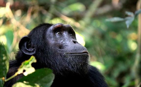 Chimpanzee in Kibale forest