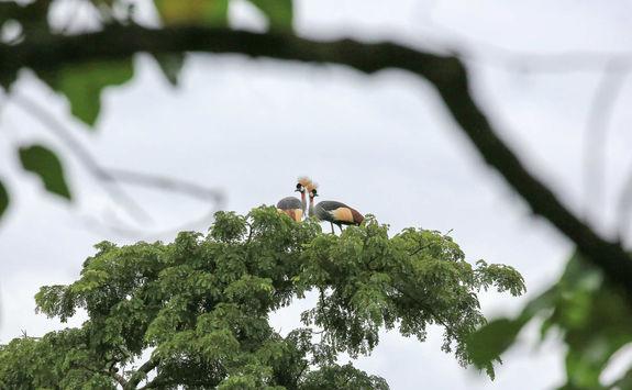 Grey Crowned cranes Bwindi