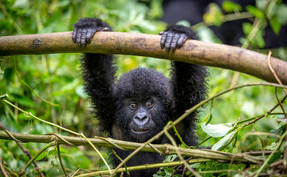 Baby gorilla in the forest