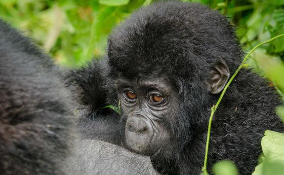Nkuringo gorilla family, Bwindi