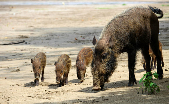 Bearded pigs family