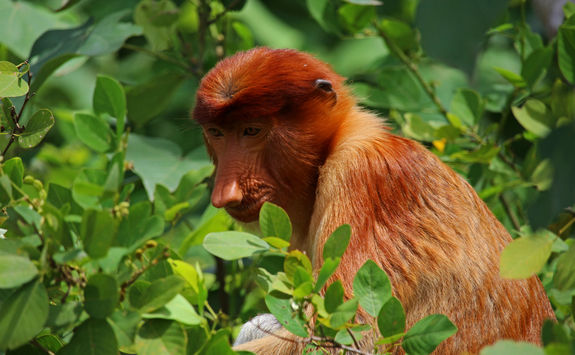 Proboscis monkey in trees