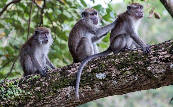 Bako monkeys