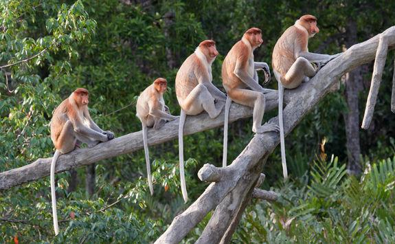 Monkeys Kota Kinabalu