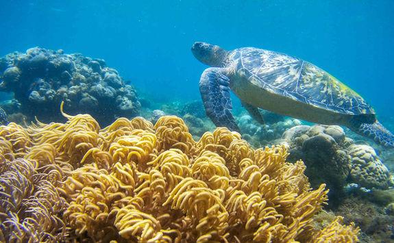 Turtle Reef Snorkelling