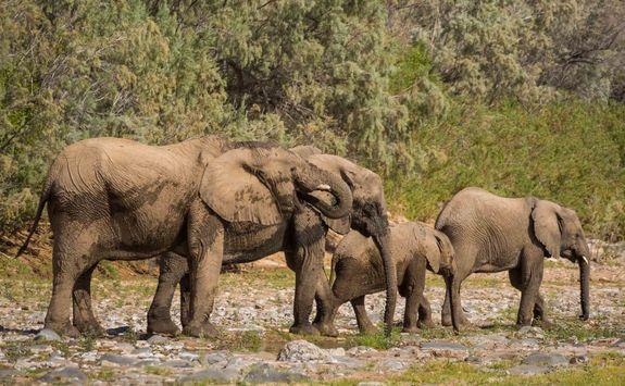 elephants the hoarusib river