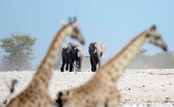 giraffes elephants