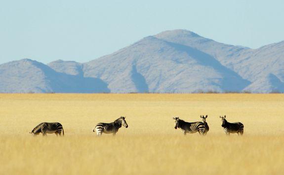 zebras hsrtmann