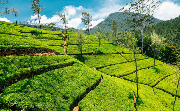 tea plantation in nuwara eliya