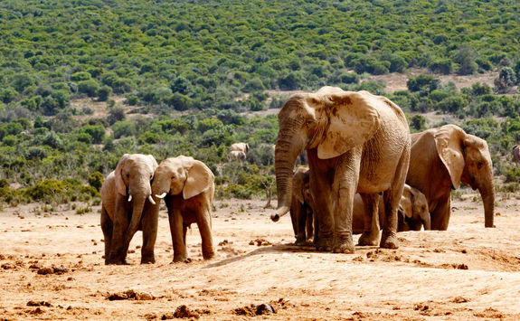 Elephants Port Elizabeth