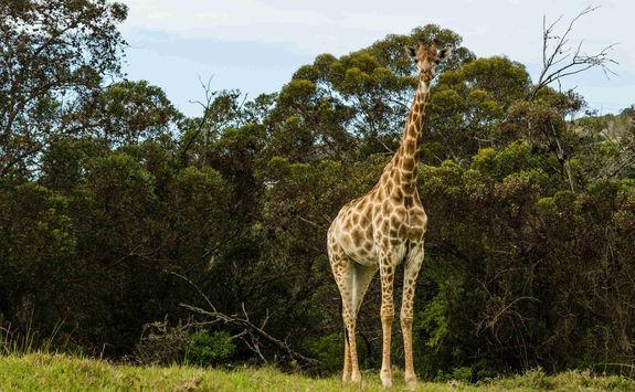 Giraffe Port Elizabeth