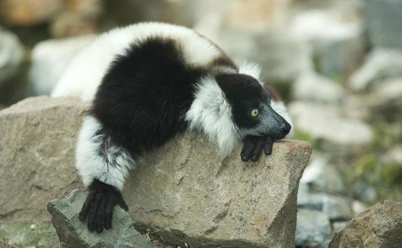 Ruffled lemur at monkeyland