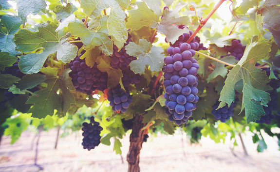 Grapes toned winelands