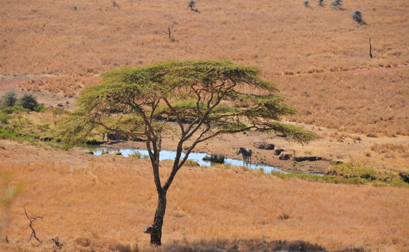 Zebra grazing in lewa downs