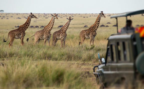 game drive giraffes