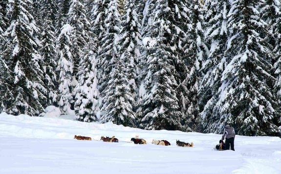 Dog sledding in woods