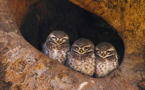 spotted_owlet