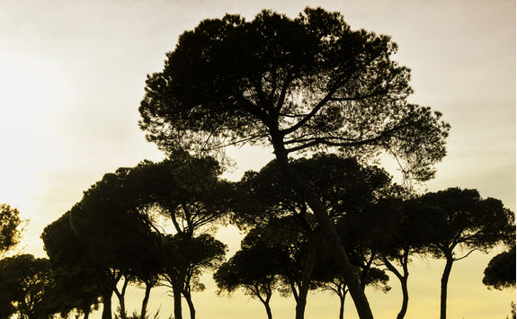 Trees on sunset