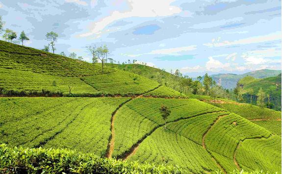 Tea landscape