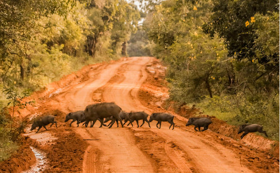 Wild boars in Yala Park