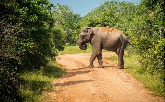 Elephant in Yala