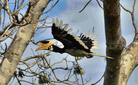 Great hornbill in Yala Park