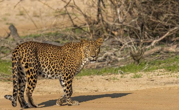 Leopard in Yala Park