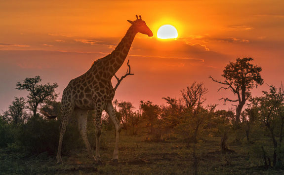 Giraffe wandering at sunset