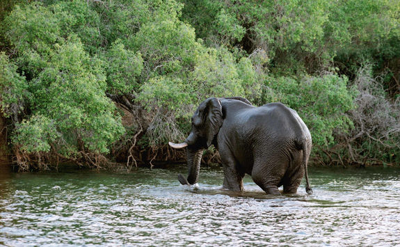 Elephant in the Zambezi river