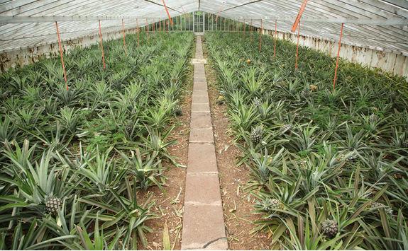 Pineapple greenhouse